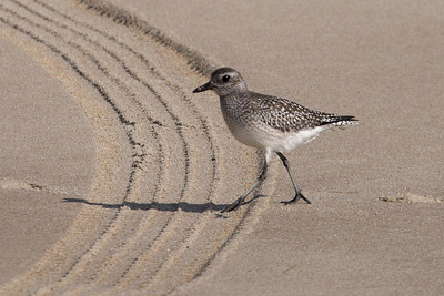 Black-bellied Plover in basic plumage (11-10-07)