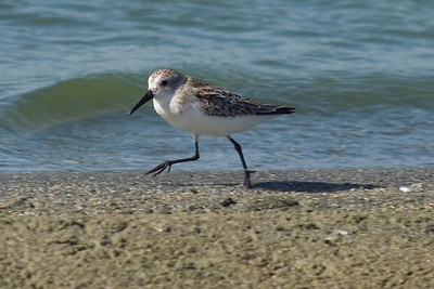 Adult Western Sandpiper molting to basic