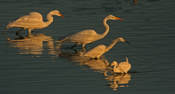 Herons and snowy egrets fishing at dawn, Las Gallinas