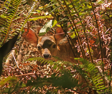 White-tailed deer, Armstrong Redwoods, Guerneville VA