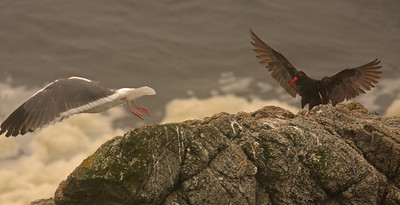Black Oystercatcher and gull, Bodega Bay