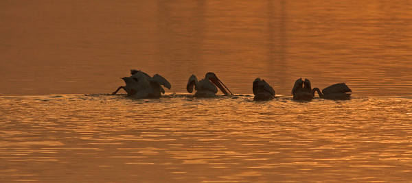 Pelicans at Dawn,  Las Gallinas