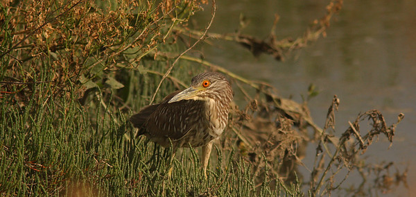 Immature black-crowned night heron, Las Gallinas