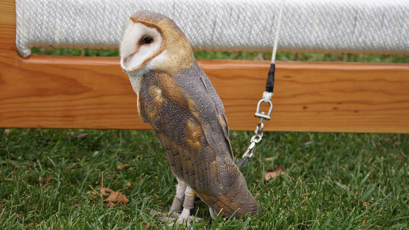 #owlmoon #sanctuary #owl #eagle #kestrel #hawk #raptor #falcon #maryland #rockygap