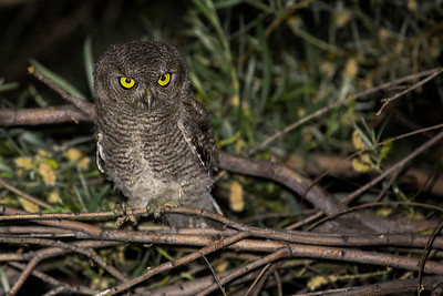 Juvenile Western Screech-Owl.  Photo taken at the Lmuma Creek Recreation Area along the Yakima River near Ellensburg, Washington.