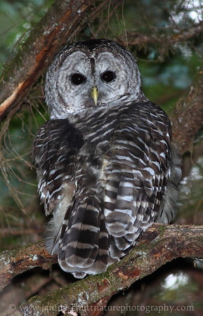 Barred Owl near the visitor center in North Cascades National Park, Washington.