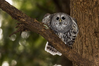 Barred Owl preparing for takeoff.  Photo taken near Bremerton, Washington.