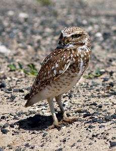 Burrowing Owl near Othello, Washington.