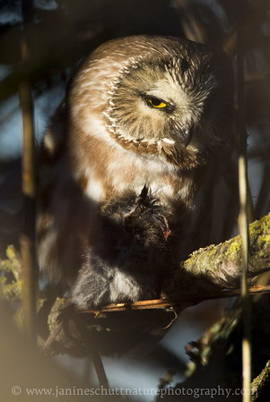 Northern Saw-whet Owl eating a vole.  Photo taken in Stanwood, Washington.