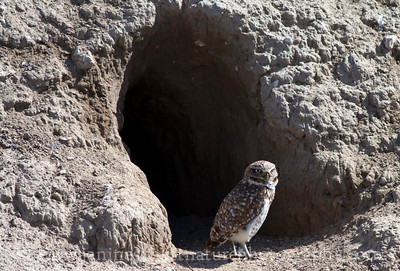 Burrowing Owl by its burrow--a refurbished badger den.  Photo taken near Othello, Washington.