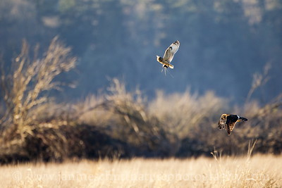 A Northern Harrier rethinks its pursuit of a Short-eared Owl carrying a freshly caught vole.  Photo taken near Stanwood, Washington.