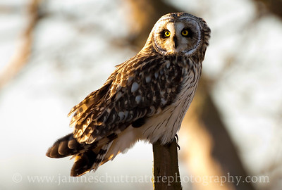 Short-eared Owl surveying its territory.  Photo taken in Stanwood, Washington.