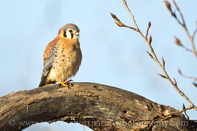 Male American Kestrel on a cold, winter day at Steigerwald Lake National Wildlife Refuge in Washougal, Washington.