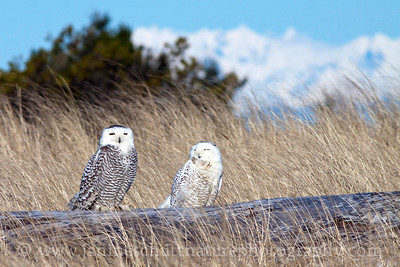 Snowy owls at Damon Point in Ocean Shores, Washington backdropped by the Olympic Mountains.  Photo taken on Feb. 4, 2012.