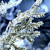 Ice crystals formed on branches.