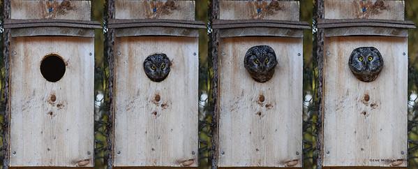 Boreal Owl Emerging