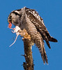 Northern Hawk Owl. Unlike most owls, this one hunts during the daytime.