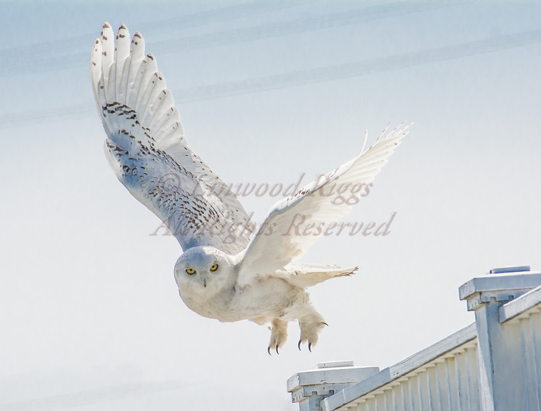 Snowy Owl at Biddeford Pool, Maine.