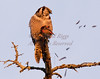 Dinner: The first course is feathers.  A Northern Hawk Owl devours a White Winged Crossbill in Bristol, Maine.