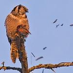 Northern Hawk Owl devours a White Winged Crossbill.