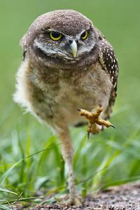 I've Got Claws Juvenile Burrowing Owl Brian Piccolo Park, Cooper City, Florida © 2013