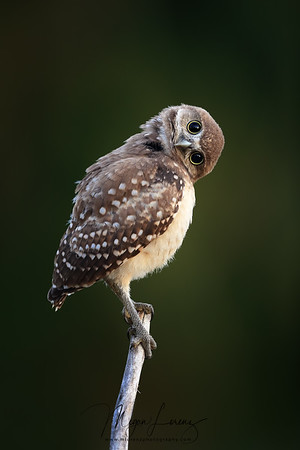Florida Burrowing Owlet tilting its head trying to figure out the position and distance of things around him - in this case - me!
