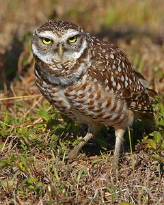 This Burrowing Owl photograph was captured in the town of Cape Coral Florida (2/07).