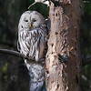 "This photograph of a Ural Owl was captured in the Oulu area of Finland (6/15). <font color=""RED""><h5>This photograph is protected by International and U.S. Copyright Laws and shall not to be downloaded or reproduced by any means without the formal written permission of Ken Conger Photography.<font color=""RED""></font></h5></font>"
