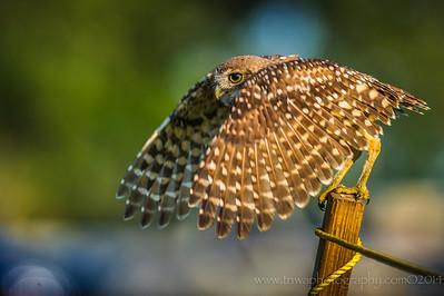 Visualization Burrowing Owl Brian Piccolo Park, Cooper City, Florida © 2014