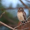 Burrowing Owlet perched in a pine tree in Florida.
