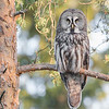 "This photograph of a Great Grey Owl was captured in the Oulu area of Finland (6/15). <font color=""RED""><h5>This photograph is protected by International and U.S. Copyright Laws and shall not to be downloaded or reproduced by any means without the formal written permission of Ken Conger Photography.<font color=""RED""></font></h5></font>"