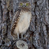 Burrowing Owlet in a tree in Florida.