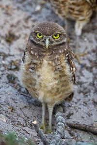 Burrowing Owl Staredown Brian Piccolo Park Cooper City, Florida © 2014