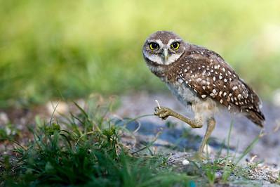 Juvenile Burrowing Owl Brian Piccolo Park Cooper City, Florida © 2012