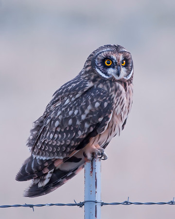 Bear River National Wildlife Refuge Short-eared Owl