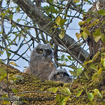 Great-horned Owls - Owlets at Nisqually Wildlife Refuge near Olympia, Wa