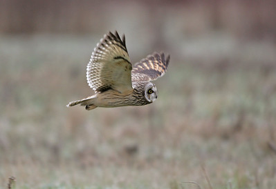 Short eared owl in flight 3