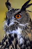 This is Bubo,European Eagle Owl,spectacular and sweet,funny and totally content in his environment.