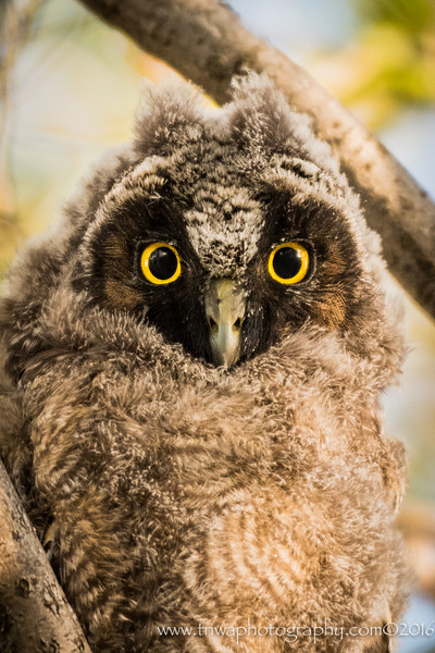 Hypnotic Eyes of the Owlet