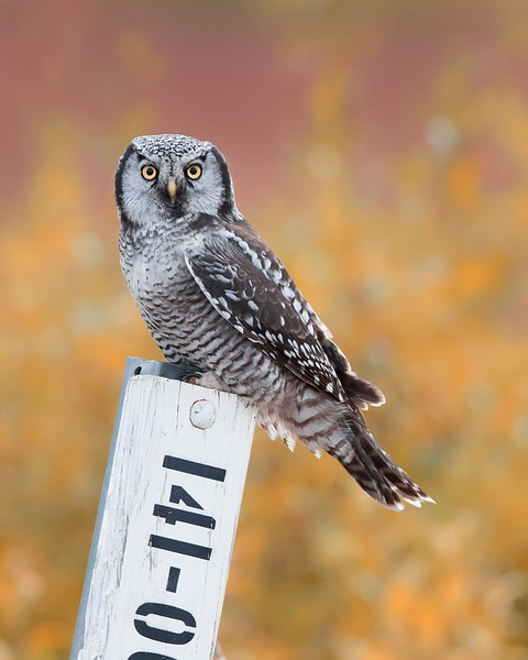 Seward Peninsula (in and around Nome) Northern Hawk Owl