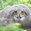 "This photograph of a Eurasian Eagle Owl chick was captured in the Oulu area of Finland (6/15). <font color=""RED""><h5>This photograph is protected by International and U.S. Copyright Laws and shall not to be downloaded or reproduced by any means without the formal written permission of Ken Conger Photography.<font color=""RED""></font></h5></font>"