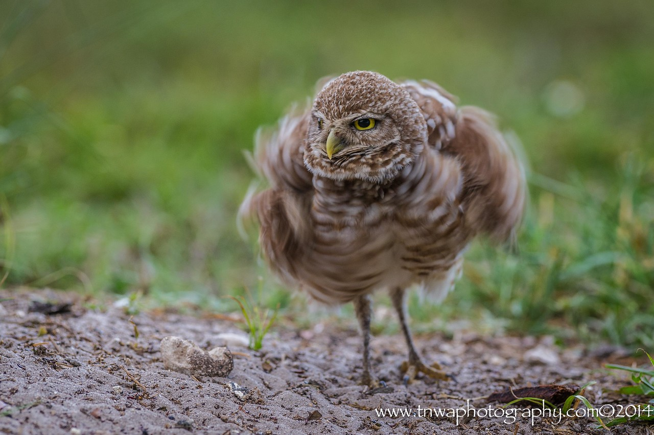 Burrowing Owl Shakes It Up Brian Piccolo Park Cooper City, Florida © 2014