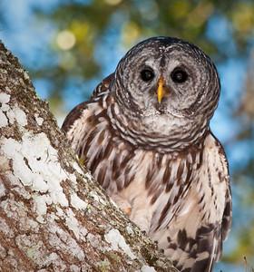 Barred Owl Dinner Island Ranch WMA Hendry County, Florida © 2009