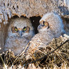 Great Horned Owl chicks in Ephrata, PA