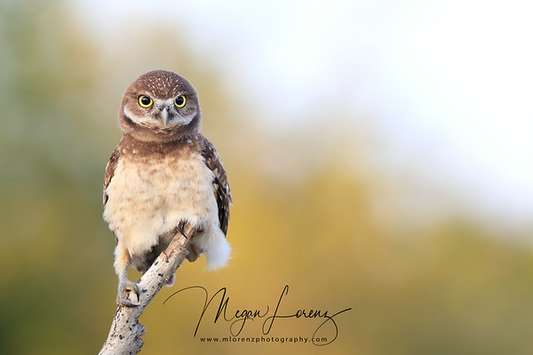 Curious Burrowing Owlet perched on a dead branch in Florida.