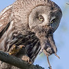 "This photograph of a Great Grey Owl with prey was captured in the Oulu area of Finland (6/15). <font color=""RED""><h5>This photograph is protected by International and U.S. Copyright Laws and shall not to be downloaded or reproduced by any means without the formal written permission of Ken Conger Photography.<font color=""RED""></font></h5></font>"