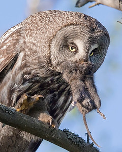 This photograph of a Great Grey Owl with prey was captured in the Oulu area of Finland (6/15). This photograph is protected by International and U.S. Copyright Laws and shall not to be downloaded or reproduced by any means without the formal written permission of Ken Conger Photography.
