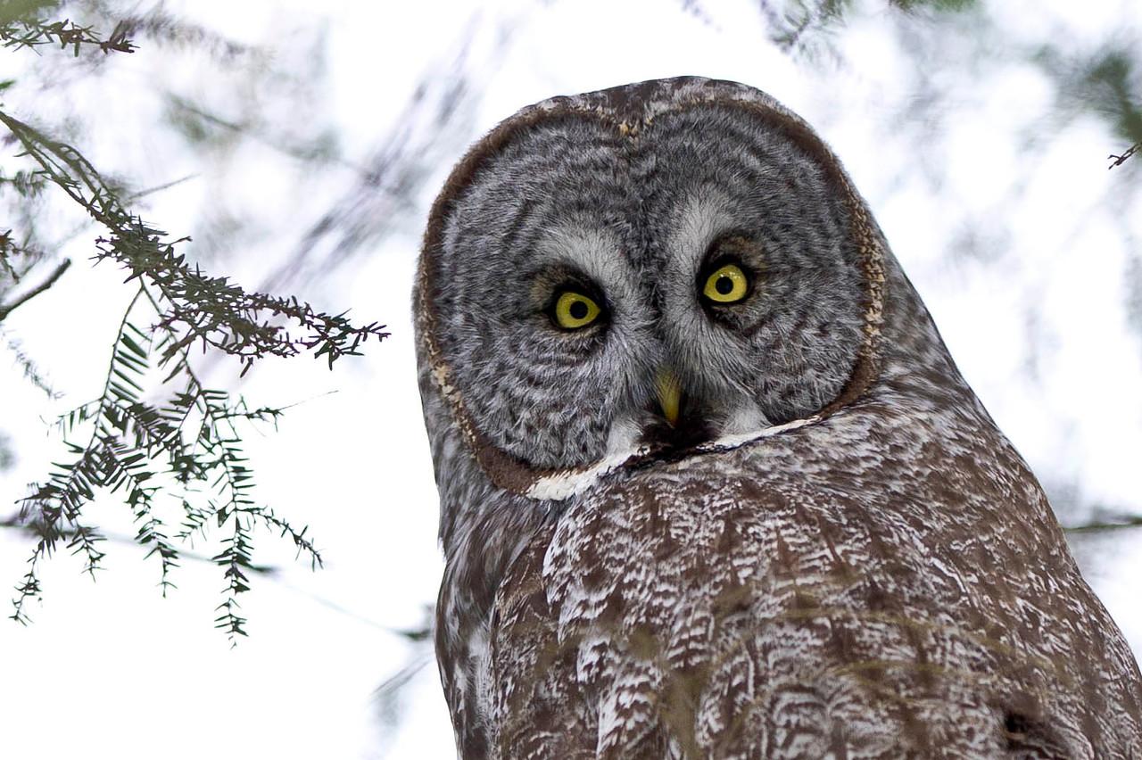 Stare of the Great Gray Owl Ottawa, Ontario Canada © 2013