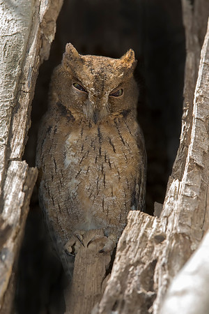 This photograph of a Malagasy Scops Owl was captured in Kirindy Reserve in Madagascar, Africa (9/15). This photograph is protected by International and U.S. Copyright Laws and shall not to be downloaded or reproduced by any means without the formal written permission of Ken Conger Photography.