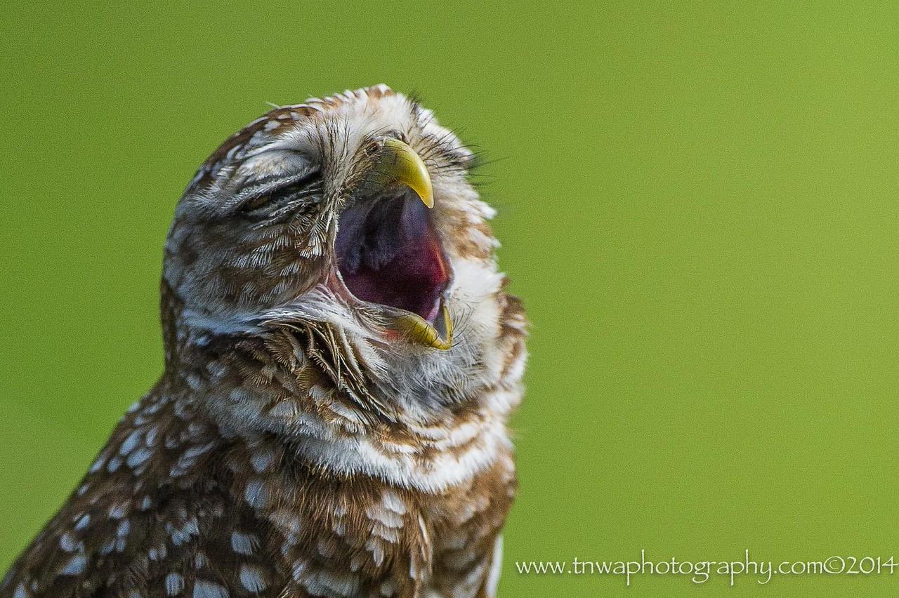 Monday Morning Blues Burrowing Owl @ Brian Piccolo Park Cooper City, Florida © 2014